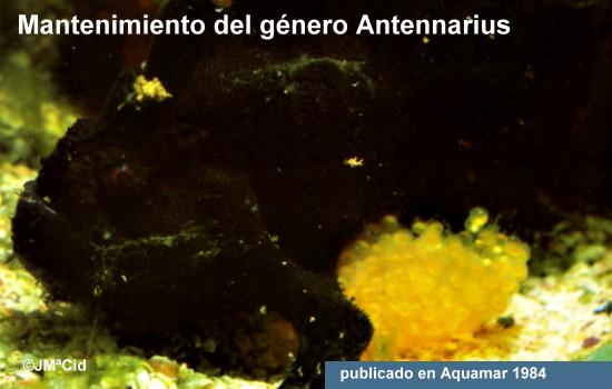Mantenimiento del género Antennarius