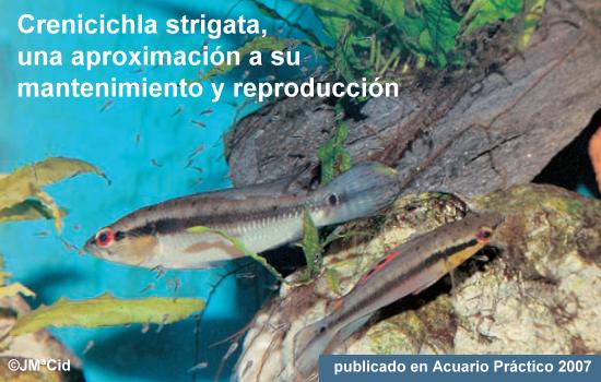 Crenicichla Strigata, una aproximación a su mantenimiento y reproducción