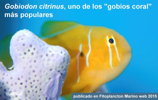 """Gobiodon citrinus, uno de los """"gobios coral"""" mas populares"""