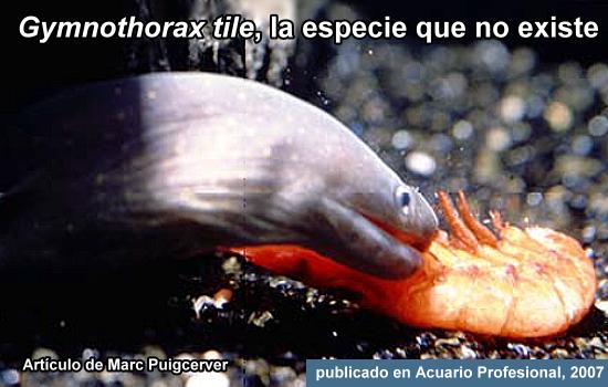 Gymnothorax tile, la especie que no existe