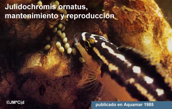 Julidochromis ornatus, mantenimiento y reproducción