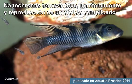 Nanochromis transvertitus, un cíclido algo complicado