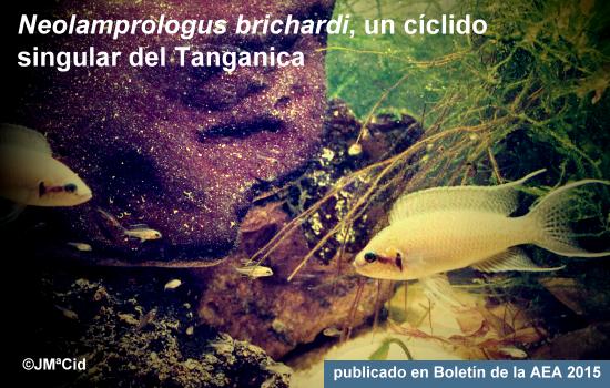 Neolamprologus brichardi, un cíclido singular del Tanganica