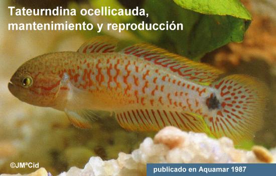 Tateurndina ocellicauda, mantenimiento y reproducción