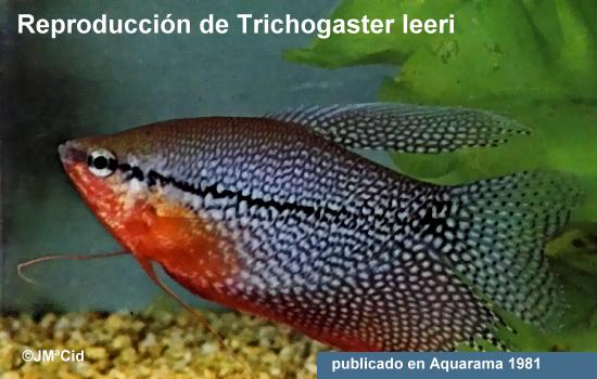 Notas acerca del Trichogaster leeri
