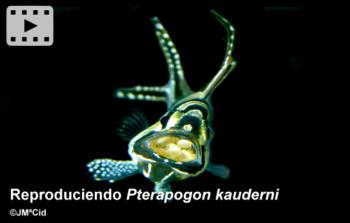Reproduciendo <i>Pterapogon kauderni</i>
