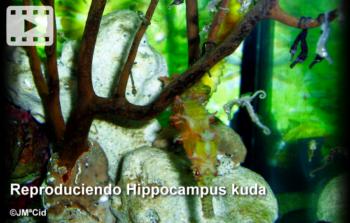 Reproduciendo Hippocampus kuda