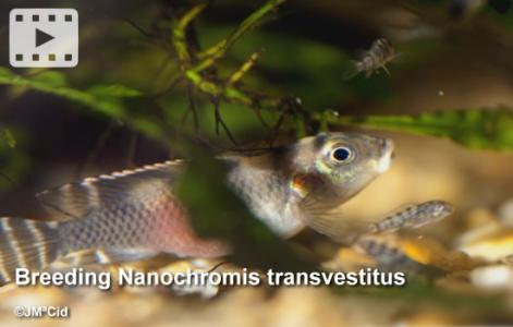 Breeding Nanochromis transvestitus