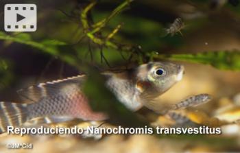 Reproduciendo Nanochromis transvestitus