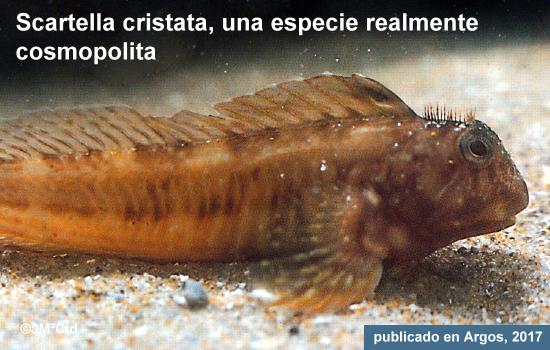 Scartella cristata, una especie realmente cosmopolita