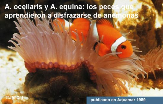 Amphiprion Ocellaris y Actinia Equina