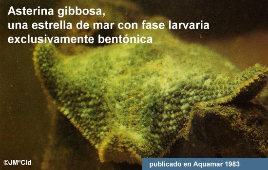 Asterina gibbosa, una estrella de mar con fase larvaria bentónica