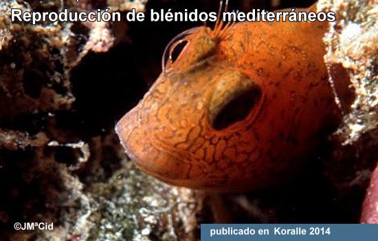 Reproducción de Blénidos Mediterráneos