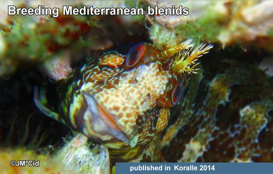 Breeding Mediterranean blennies