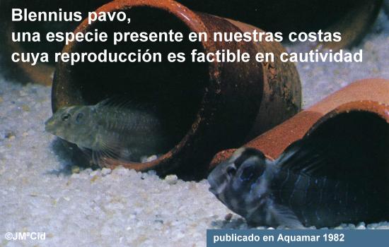 Blennius pavo, una especie presente en nuestras costas