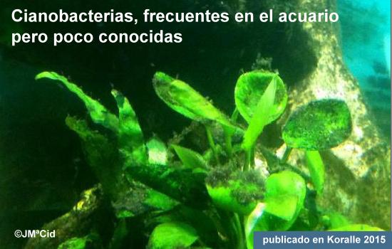 Cianobacterias, frecuentes en el acuario pero poco conocidas