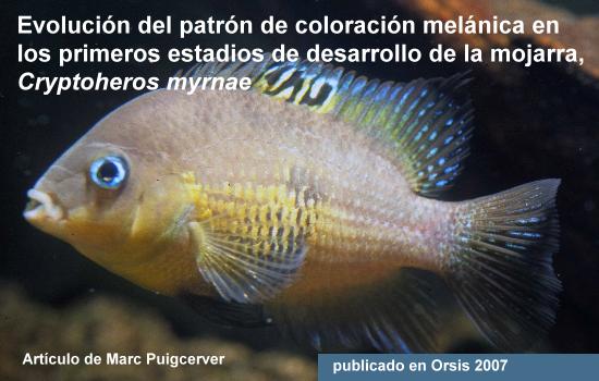 Cryptoheros myrnae, evolución del patrón de coloración