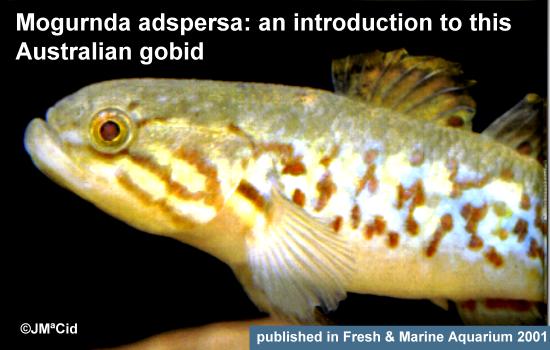 Mogurnda adspersa: an introduction to this Australian gobid