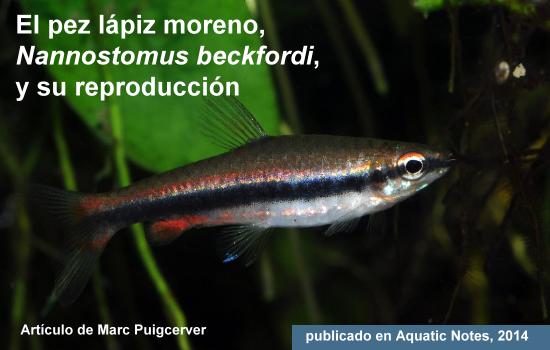 El pez lápiz moreno, Nannostomus beckfordi, y su reproducción