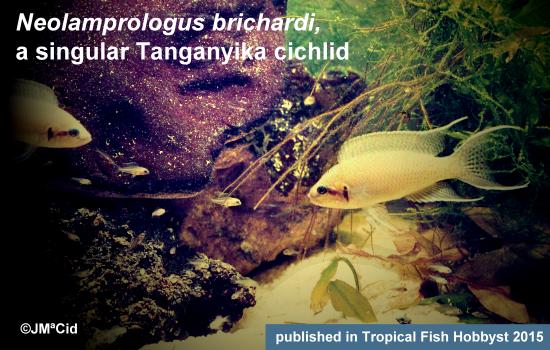 Neolamprologus brichardi, a singular Tanganyika cichlid