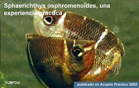 Sphaerichthys osphromenoides – El Gurami Chocolate
