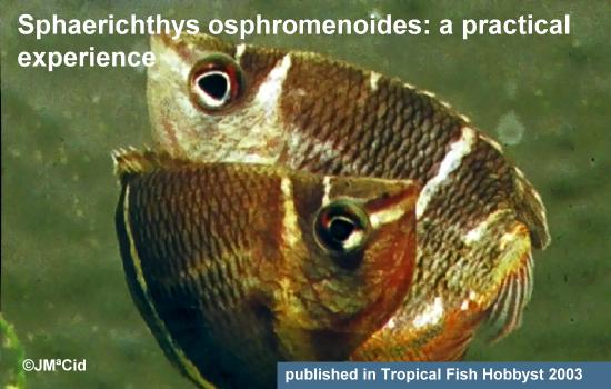Sphaerichthys osphromenoides: a practical experience
