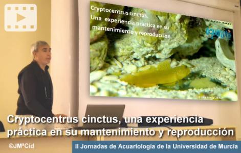 Cryptocentrus cinctus – Jornadas Univ. Murcia 2017