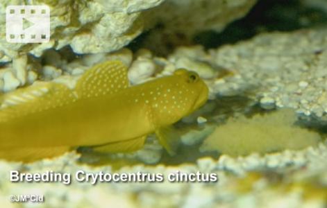 Breeding Cryptocentrus cinctus