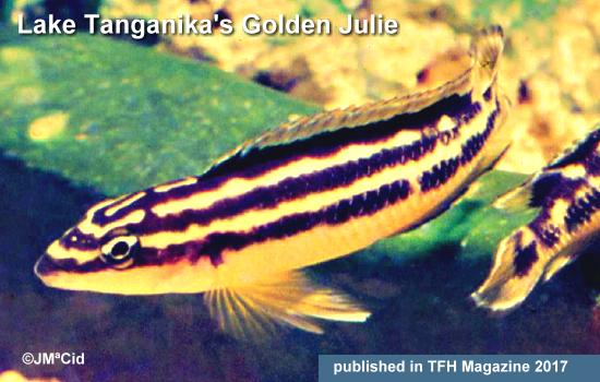 Lake Tanganika's Golden Julie