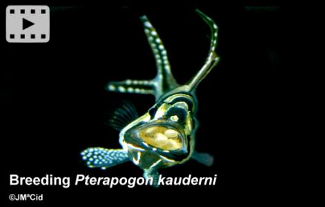 Breeding <i>Pterapogon kauderni</i>