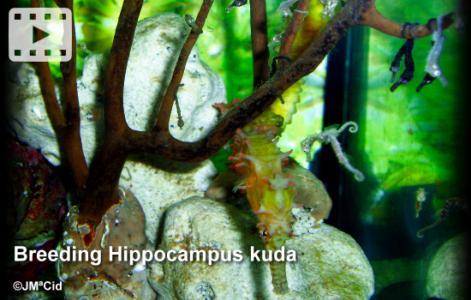 Breeding Hippocampus kuda