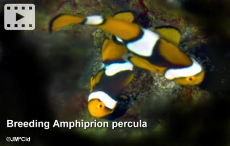 Breeding Amphiprion percula