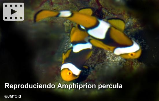 Reproduciendo Amphiprion percula