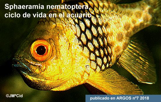 Sphaeramia nematoptera, ciclo de vida en el acuario