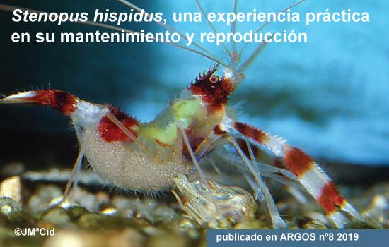 <i>Stenopus hispidus</i>, mantenimiento y reproducción
